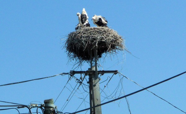 Stork Chicks are Getting Ready to Leave Home