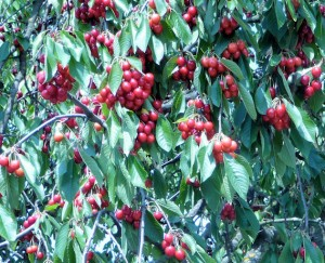 Trees are Loaded with Cherries
