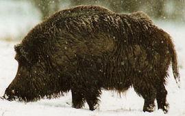 Wild Boar in Hungary